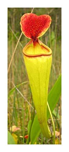 Nepenthes madagascariensis - Madagaskar Kannenpflanze - 10 Samen