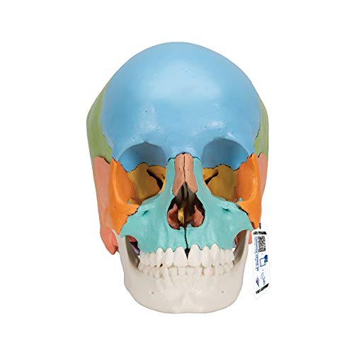 3B Scientific Menschliche Anatomie - Steckschädelmodell - Didaktische Version, 22-tlg. + kostenloser Anatomiesoftware - 3B Smart Anatomy