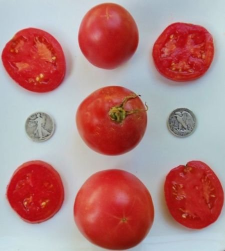 Arkansas Traveler - Graine de tomate Heirloom biologique - The Perfect Slicer - 40 graines