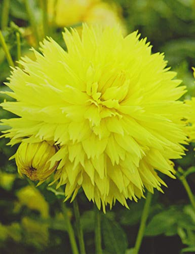 Hirschgeweih Dahlie großblumig Hale Bopp Knolle Blumenzwiebel (1 Dahlie (Wurzelstock))