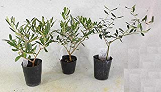 オリーブ 苗木 おまかせ 3種(本)セット 樹高約40㎝ 3.5号ポット