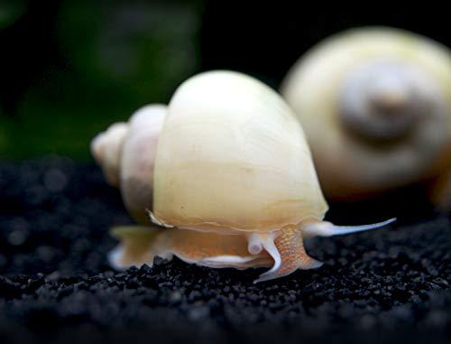 Aquatic Arts 5 Live Ivory Mystery Snails Freshwater Aquarium Algae Eater | Real Living Glass Fish Tank Cleaner | Nano Pets | Natural Decorations