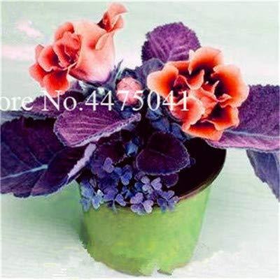 Bloom Green Co. 120 pezzi importati Gloxinia Bonsai, colorato perenne Sinningia Gloxinia nano albero Fiore Le piante per il giardino domestico Balcone coperto: 1