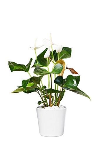 EVRGREEN | Zimmerpflanze Anthurie in Hydrokultur mit weißem Topf als Set | Flamingoblume | Anthurium andreanum Sumi weiß