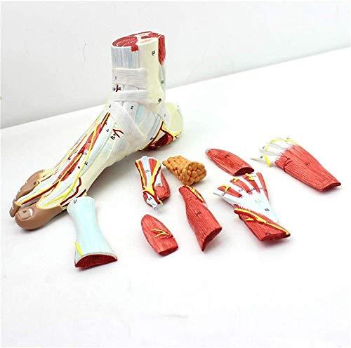 Menschlicher Fuß Joint Muskel Ligamentum Fußmuskel Neurovaskulärer Modell Plantar Anatomisches Modell Chirurgie 9 Teile 1: 1 Life Size 0514
