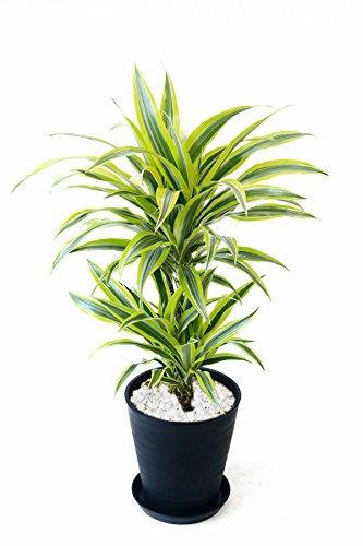 【セラアート鉢】選べる観葉植物 8号鉢 (ドラセナ ワーネッキー レモンライム, ブラック)