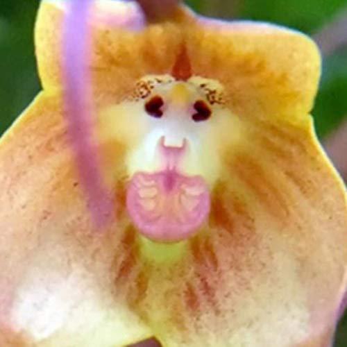 Cioler Affengesicht Orchidee Monkey face Orchid 30Samen Blumensamen Bonsai Pflanze Blühenden Garten