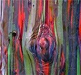 SANHOC 100 PC/Bag Regenbogen-Eukalyptus Bonsai tropischer Baum Plantas Hauptdekoration schöne Gartenpflanze Regenbogen Eukalyptusbaum: 8