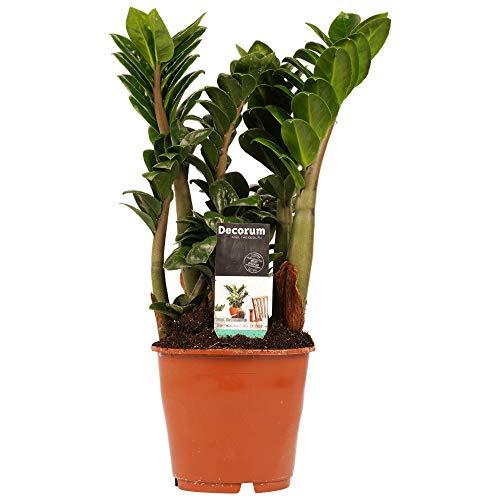 Pianta d'appartamento da Botanicly – Gemma di Zanzibar – Altezza: 65 cm – Zamioculcas zamiifolia
