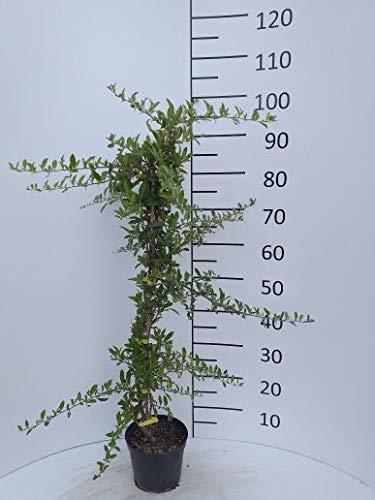 Späth Feuerdorn 'Soleil d'Or' LH 60-80 cm im 2 Liter Topf Zierstrauch weiß blühend Gartenpflanze schnellwachsend 1 Pflanze