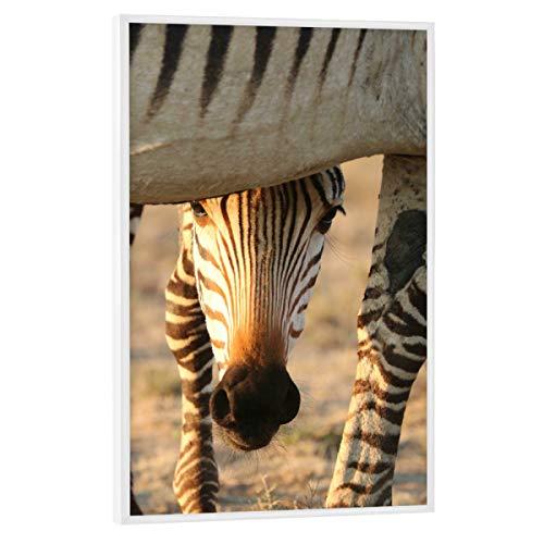 artboxONE Poster mit weißem Rahmen 90x60 cm Tiere Zebra Baby schaut - Bild Zebra Zebra zebrababy