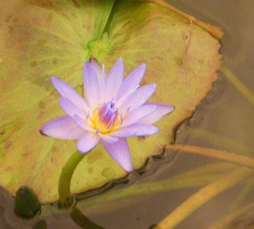 Seerosen Samen (Für Teich und Aquarium) 10 frische Samen + Anzuchtanleitung ***Freie Farb-Sorten Auswahl*** (Seerose Violettblühend)
