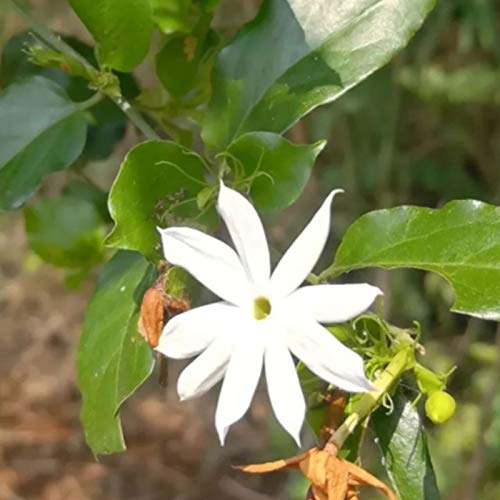 C-LARSS 100Pcs / Bag Jasminum Elongatum Willd Seeds, Mini Semillas De Flores Perennes Ornamentales Viables Para El Parque Semillas de Jasminum Elongatum Willd