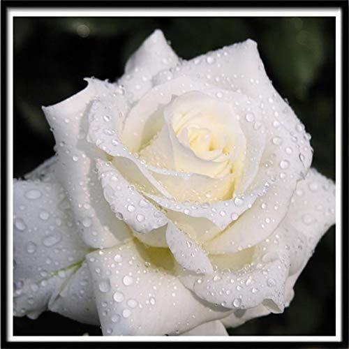Lazodaer - Kit de pintura de diamantes 5D para adultos, niños, decoración del hogar, habitación, oficina, regalo para él, ella, rosa blanca, 30 x 30 cm