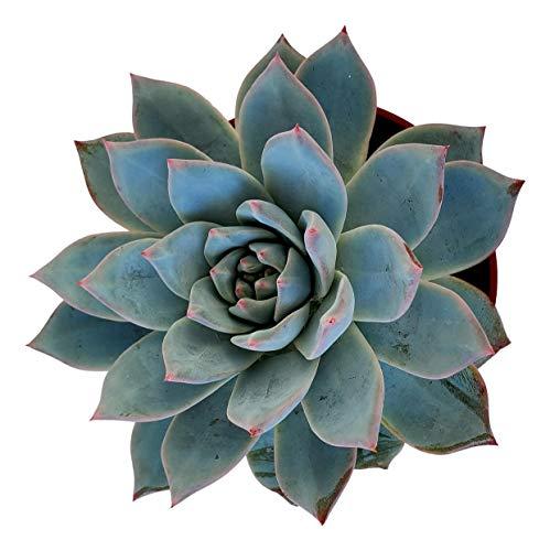 Fat Plants San Diego Live Echeveria Hybrid Succulent Plant (4 inch, Blue Bird)