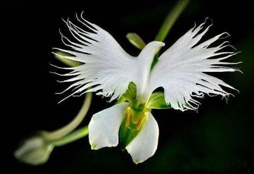Higarden rares Graines de fleurs japonaise Radiata jardin pour la plantation des graines d'orchidées colombe blanche, 50 graines/monde sac