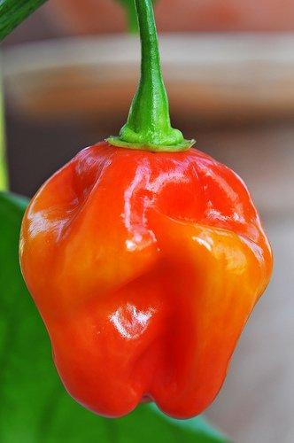 Super Hots, Savina rouge Pepper, (20 graines) Capsicum Chinense, agriculteur Champion du Monde, Les Habanero Hottest Red Savina 570.000 Scovilles, Heirloom Seeds organiques