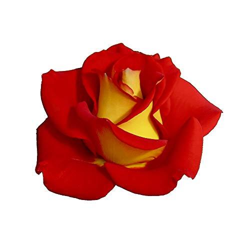 Ketchup & Mustard®, rosaio vivo Rose Barni®, rosa in vaso rossa e gialla, pianta folta e compatta, habitus rotondo, adatta alla coltivazione in vaso, rifiorente fino autunno inoltrato cod.72056