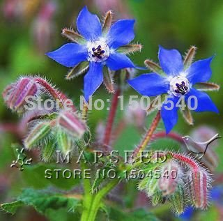 850 graines Pcs chinois herbe traditionnelle, votre propre jardin survial Goji berry bourrache