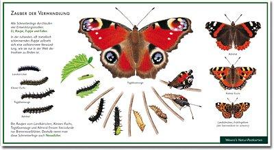Von der Raupe zum Schmetterling - Zauber der Verwandlung - Tagpfauenauge - Admiral - Kleiner Fuchs - Landkärtchen - Wawra Naturpostkarte zum Entdecken, Beobachten, Bestimmen - 22 cm x 12 cm - Postkarte