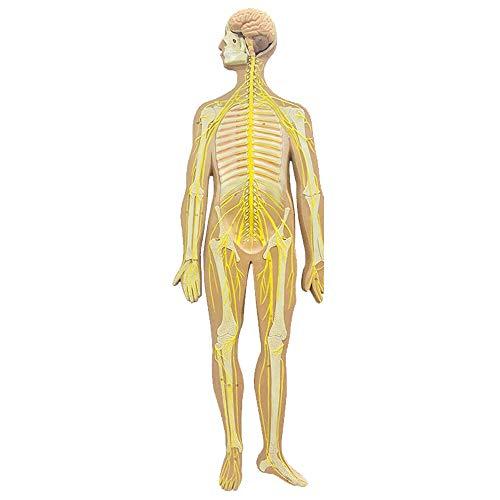 FHUILI Modelo del Sistema nervioso Humano - Modelo Educativo Modelo anatómico del Sistema nervioso craneal - nervio Mediano del nervio espinal del nervio Central - para el Estudio de enseñanza,A