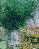 Eneldo fresco hierbas de la herencia eneldo Bouquet 2000 Semillas altos rendimientos culinario medicinales
