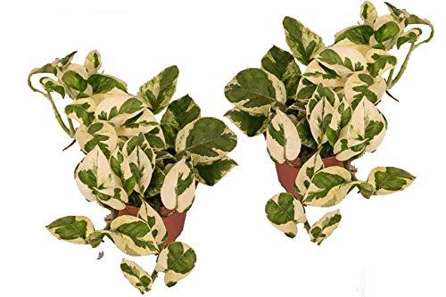Efeutute, Scindapsus, (Epipremnum aureum) Sorte: N'Joy, weiss buntes Blattwerk, rankend, Ampelpflanze, luftreinigend (2er Set im 12cm Topf)
