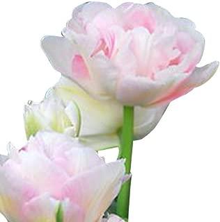 angelique tulip bulbs