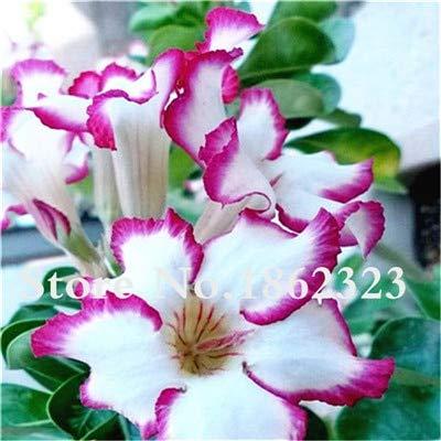 Generic Fresh 4 Pcs Adenium Obesum...