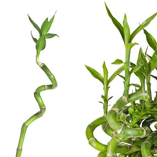 10 x Lucky Bamboo Glücksbambus - 70cm GEDREHT - Spiral in verschiedenen Groessen - Zimmerbambus Gluecksbambus Zimmer Deko Bam Boo dracaena sanderiana Zimmerpflanze