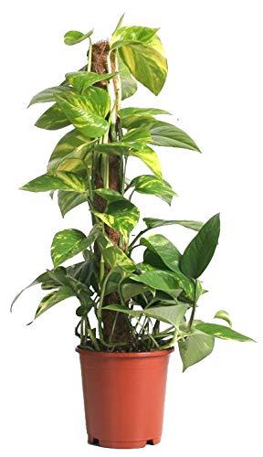 Efeutute, Scindapsus, (Epipremnum aureum), gelb grünes buntes Blattwerk, rankend, luftreinigend, am Moosstab gezogen (ca. 55cm hoch im 15cm Topf)