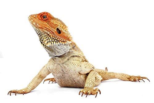 Lsping Puzzle 1000 pezzi animali Animal Reptil Fondo Blanco 50x70cm