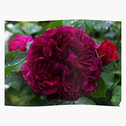 Miboutiquepanama Rose Roses Rosen English Rosentraum Englische Home Decor Wall Art Print Poster 11.7 x 16.5 inch