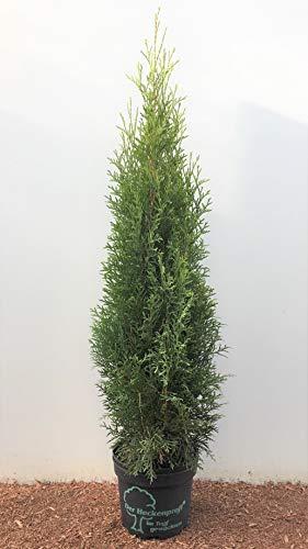 Edel Thuja Smaragd immergrüner Lebensbaum Heckenpflanze Zypresse im Topf gewachsen 60-80 cm (45 Stück)
