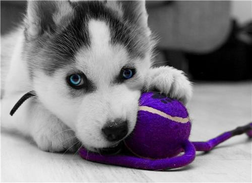 ConversationPrints Siberian Husky Puppy Glossy Poster Picture Photo Dog Wolf sled Cool Cute