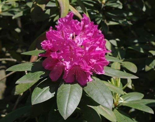 Rhododendron catawbiense CATAWBA RHODODENDRON Samen!