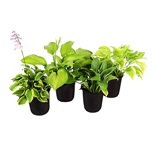 The Three Company Beautiful Live Flowering 2.5 Quart Hosta (4 Per Pack), Garden and Landscape...