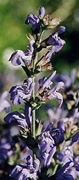 BloomGreen Co. Herb semences pour jardin persil herbes graines - saveur piquante et les graines Aroma herbe pour POTAGER Graines POTAGER Graines Paquet
