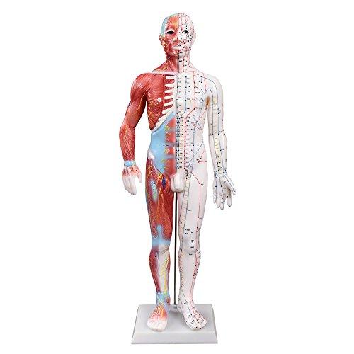 66fit Männliches Akupunktur- und Muskelmodell – 60 cm – Druckpunkte und Meridiane