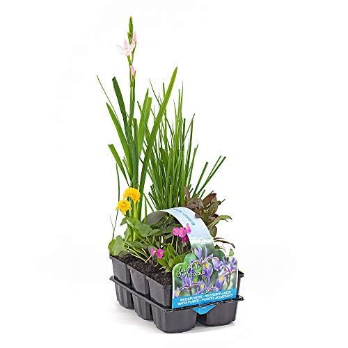 6er Pflanzkorb Set | Teichpflanzen winterhart Set | Schwimmpflanzen | Wasserpflanzen Miniteich | Höhe 20-30 cm