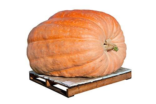 Dill's Atlantic Giant Pumpkin Seeds - Non-GMO - 10 Seeds