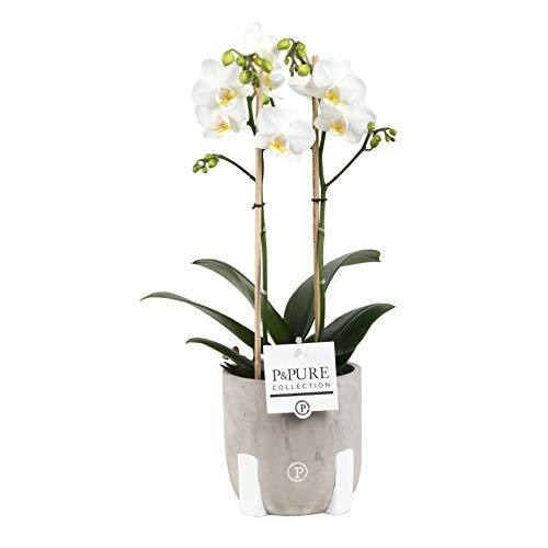 Orchidee – Schmetterlingsorchidee in rustikal-grauem Keramik Übertopf als Set – Höhe: 45 cm, 2 Triebe, weiße Blüten