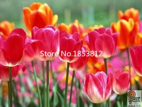 Yellow : Sale!500Piece 16 Colors Tulip Seeds 2016 New Garden Flowers Four Season Sowing World Rare Flower Seeds For Garden