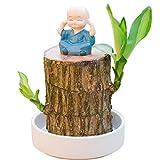 LYKH Mini Madera brasileña, tocones de árboles en Maceta hidropónico de Hoja perenne para purificación de Aire Oficina y Decoraciones de Dormitorio Regalos para Padres,B,6~7CM