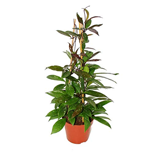 Exotenherz - Hoya pubicalyx - Porzellanblume - Wachsblume - 17cm Pyramide