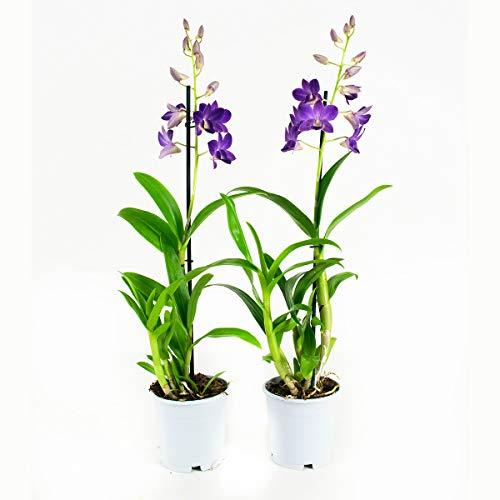 Orquídeas de Botanicly – 2 × Dendrobium Sa-Nook – Altura: 55 cm,
