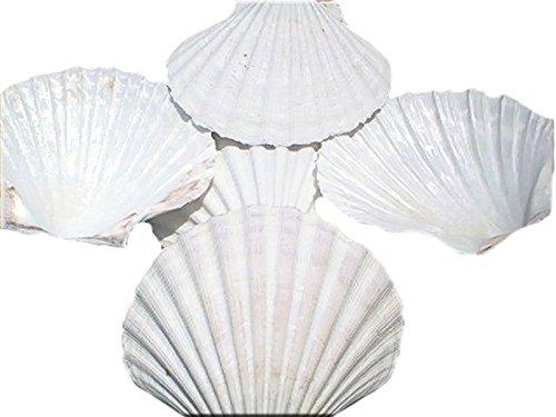 Set of 12 Large White Baking Scallop (3.5'-4') Restaurant Quality Real Seashells Beach Wedding Coastal Crafts and Decor - Florida Shells and Gifts Inc.