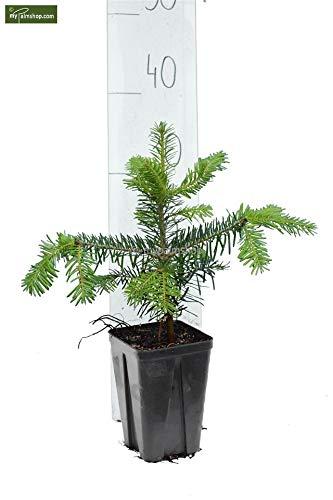 Nordmanntanne beliebter Weihnachtsbaum - Abies nordmanniana - 30-40cm im 1Ltr. Topf