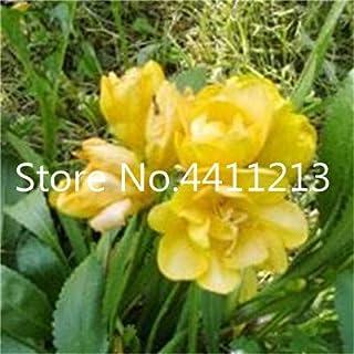 GEOPONICS SEMILLAS: 150 piezas/bolsa de Fresia de la planta, Fresia Fresia flor de Bulbos de flores Bonsai Flores de la orquídea Freesia Rizoma flores bulbosas: 16