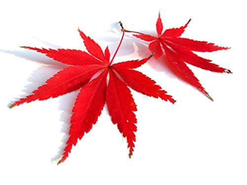 Red Lace Leaf Japanese Maple 30 Seeds - Acer Palmatum Atropurpureum Dissectum Seeds, Laceleaf Japanese Maple Tree Seeds, Japanese Tree Seeds for Planting